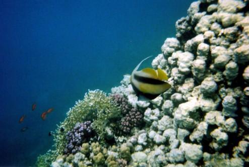 Threadfin Angel Fish